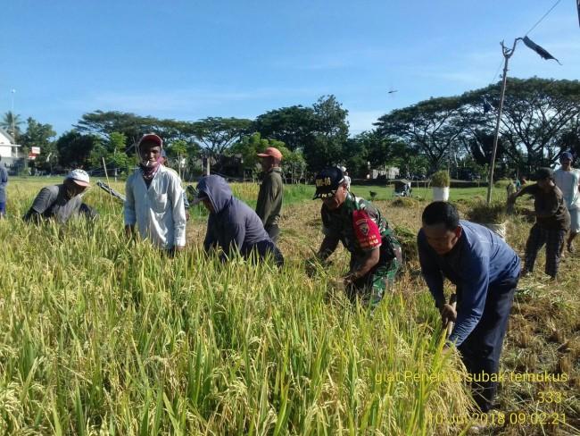 Pelda Gede Jana Bantu Petani Panen Padi di Desa Temukus