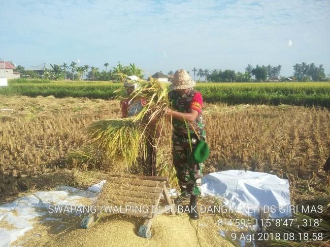 Sukseskan Program Swasembada Pangan, Serma Komang Bantu Petani Panen Padi