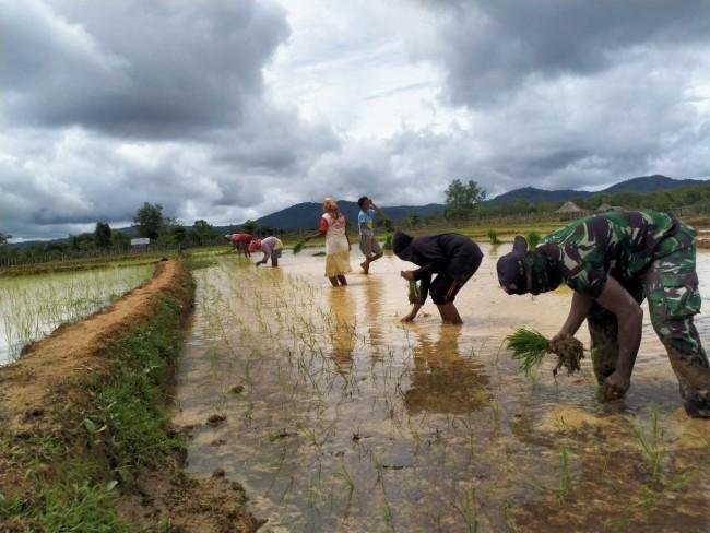 TNI Turun Langsung ke Sawah, Bantu Warga Tanam Padi di Perbatasan