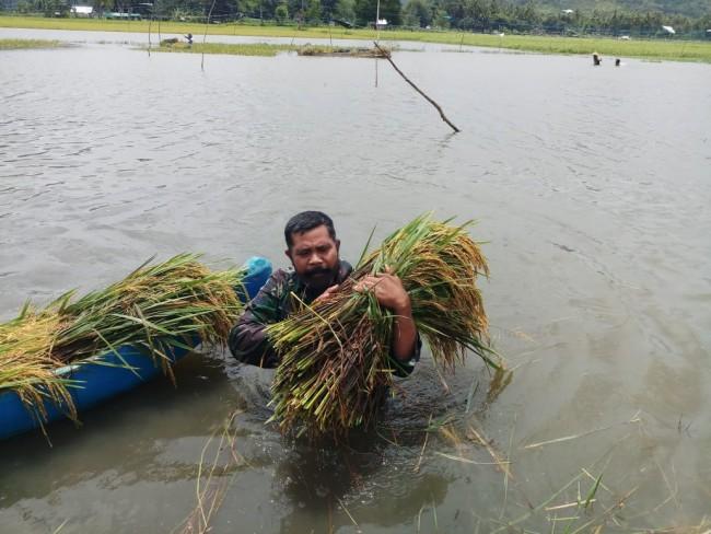 Salut, Dedikasi Babinsa Koramil Taliwang Bantu Masyarakat Memanen Padi Yang Terendam Banjir